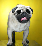 Pug with sunglasses. Royalty Free Stock Photo