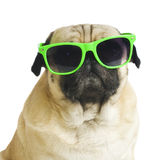 Pug with sunglasses. Stock Photography