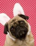 Pug sveglio del coniglietto Fotografie Stock