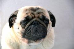 Pug sweet, sad dog pug with big sad eyes and interrogative glance, portrait of a dog. Pug sweet, sad dog pug with big sad eyes and interrogative glance Stock Photography