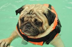 Pug swimming with life jacket. Cute dog Pug swim in swimming pool with life jacket Royalty Free Stock Photography