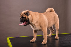 Pug on table Royalty Free Stock Images