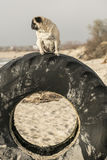 Pug on tire Stock Image