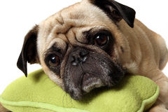 Pug With A Toy royalty free stock photo