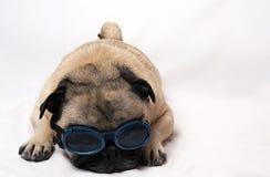 Pug triste com óculos de proteção Fotografia de Stock Royalty Free
