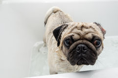 Pug in a Tub. A pug dog getting washed in a bath tub stock images