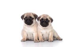 Pug twee puppy op wit Stock Afbeelding
