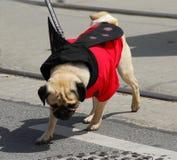 Pug in un costume Fotografia Stock Libera da Diritti