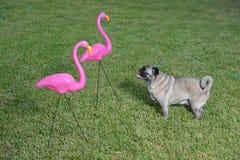 Pug und Flamingos Stockfoto