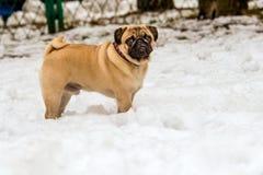 Pug und Schnee lizenzfreies stockfoto