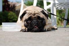 Pug und seine Wasserschüssel Stockfotos