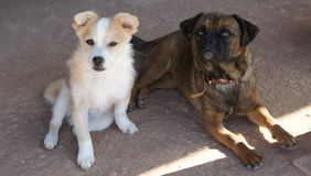 Pug und Welpe Stockbilder