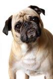 pug uparty zdjęcie stock
