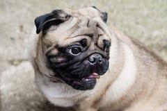 Pug van de baby Pug van de hond Sluit omhoog gezicht van zeer Leuke pug Royalty-vrije Stock Fotografie
