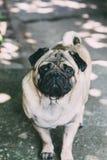Pug van de baby Pug van de hond Sluit omhoog gezicht van zeer Leuke pug Stock Afbeelding
