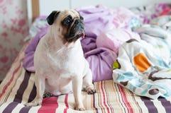 Pug van de close-up zit het leuke hond puppy op haar bed en ziet vooruit eruit Royalty-vrije Stock Foto's