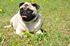 Pug van de hond Stock Afbeeldingen