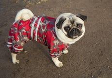 Pug van de hond Royalty-vrije Stock Afbeelding