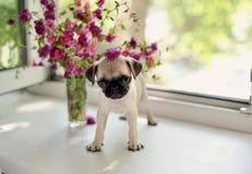 Pug van het puppy Stock Foto's