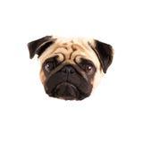 pug vector Stock Foto's