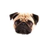 Pug vector. Vector of a small pugs face Stock Photos