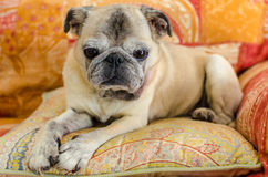 Pug velho bonito Fotografia de Stock Royalty Free
