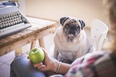 Pug velho do cão para olhar seu proprietário pronto para comer uma maçã verde após o trabalho com máquina de escrever velha - ima fotos de stock