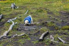 Pug vestido no casaco azul que toma a água de um córrego pequeno imagens de stock