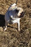 Pug for a walk on a spring day. Royalty Free Stock Photography