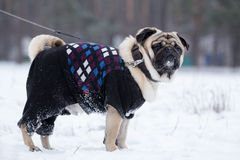 Pug walks on leash in winter. Royalty Free Stock Photos