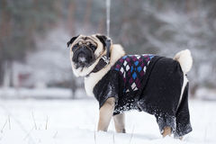 Pug walks on leash in winter. Royalty Free Stock Images