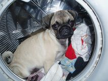 Pug in the washing machine Royalty Free Stock Photography