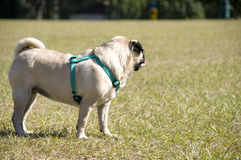 Pug Watching Royalty Free Stock Photography