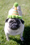 Pug wearing a birthday hat Royalty Free Stock Photo