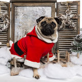 Pug wearing a christmas suit sitting in a winter scenery. 3 years old stock images
