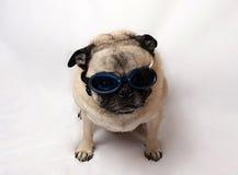 Pug Wearing Goggles Stock Photos