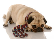 Pug wearing mens tie. Pug dressed up wearing a mans dress tie Stock Photos