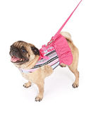 Pug wearing a pink striped outfit Royalty Free Stock Image