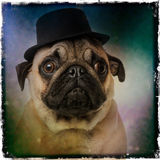 Pug wearing a top hat. On a grunge colored background Royalty Free Stock Image