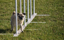 Pug and weave poles at dog agility trial Stock Photo