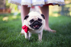 Pug on a wedding, looking to camera, facing, standing near bride Stock Images