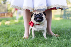 Pug on wedding standing with bride