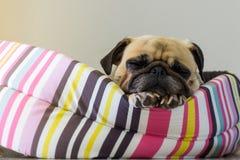 Pug-Welpenschlaf Hund der Nahaufnahme netter, der auf ihrem Bett stillsteht Lizenzfreie Stockfotos