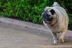 Pug. Wherever you go, i follow Stock Photo