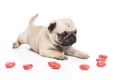 Pug on white background. Pug playing on white background Stock Photo