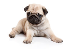 Pug on white background. Pug isolated on white background Royalty Free Stock Photo