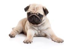Pug on white background. Pug isolated on white background royalty free stock photo