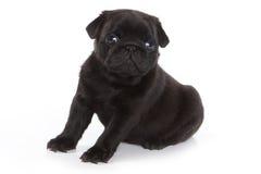 Pug on white background Stock Images