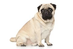 Pug on white background Royalty Free Stock Photography