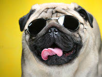 Pug With Sunglasses. Stock Photos